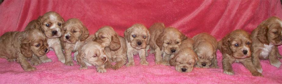 Akc Cocker Spaniel Puppies